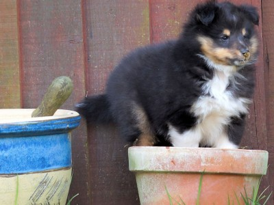 puppy-in-pot