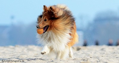 sheltie-beach-ball