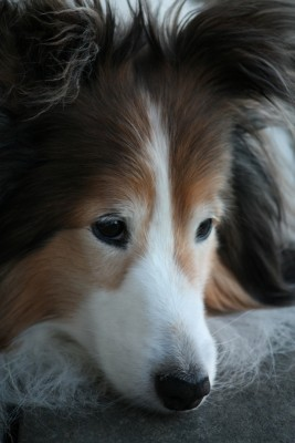 sheltie-face-closeup