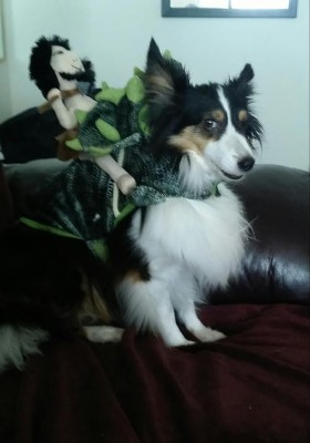 sheltie-in-costume