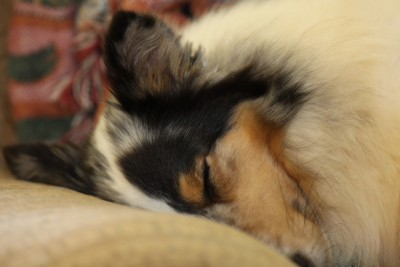 sheltie-katie-sleeping