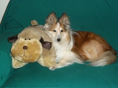 sheltie-pillow-pet