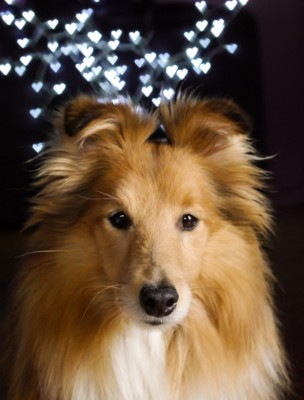 sheltie-portrait-hearts