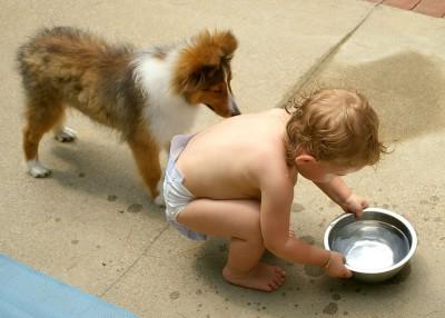 sheltie-puppy-todler