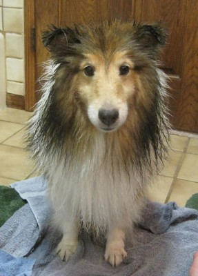 sheltie-wet-bath