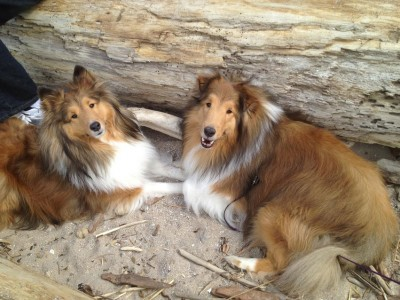 shelties-at-beach