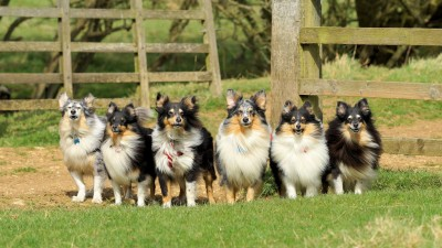 shelties-sun-wind