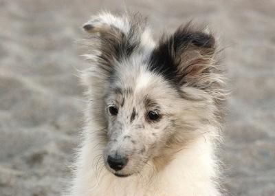 sheltie-puppy-beach
