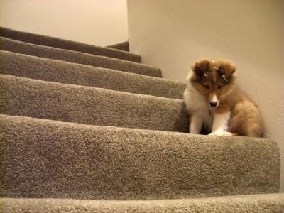 sheltie-puppy-stairs