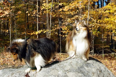 sheltie-rock-posing