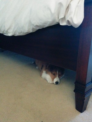 sheltie-under-bed