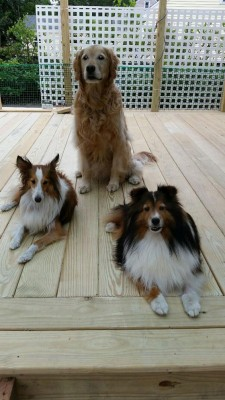 shelties-on-deck