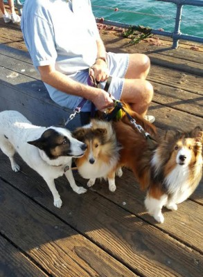 shelties-on-pier