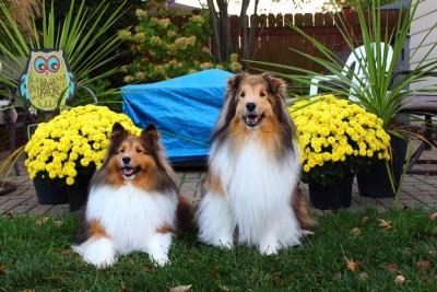 shelties-pose-mums