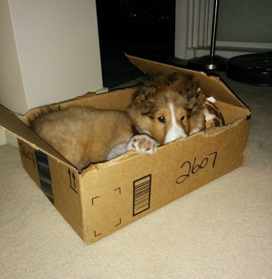 tebo-box-puppy