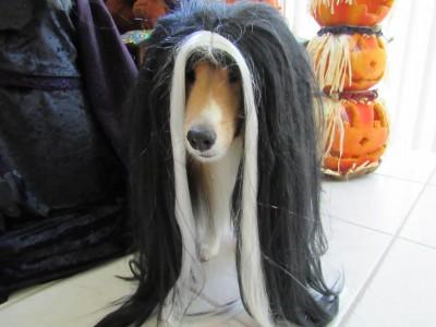 toby-wig-sheltie
