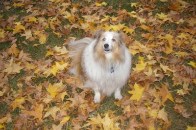dory-sheltie-leaves