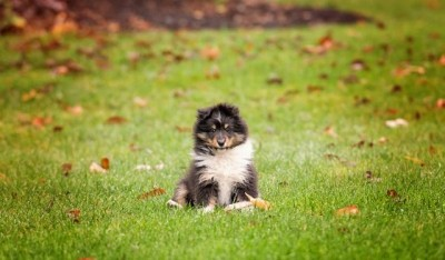 molly-sheltie-puppy