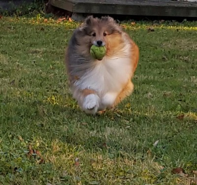 sage-sheltie-run