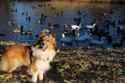 sheltie-aimee-ducks