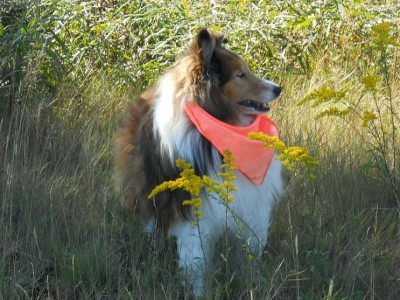 sheltie-bandana-fall