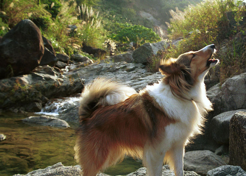 how to stop sheltie barking