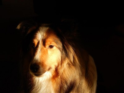 sheltie-bella-sun