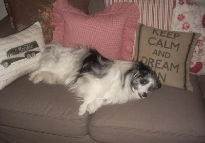 sheltie-bramble-couch