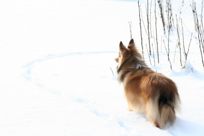 sheltie-buddy-snow