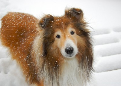 sheltie-cokie-snow
