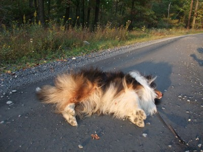 sheltie-done-walk