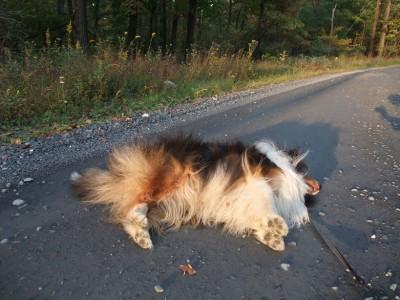 sheltie-done-walk