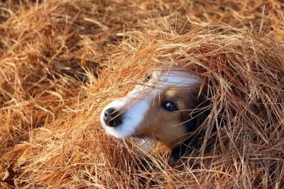 sheltie-hay-peggy