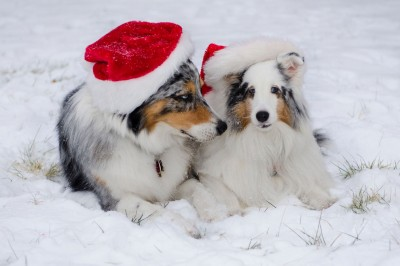 sheltie-leeloo-hat