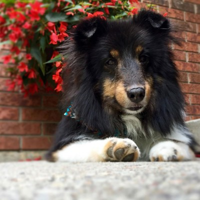 sheltie-rocky-ground-level