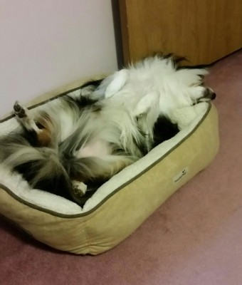 sheltie-sleeping-upsidedown