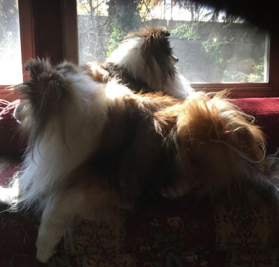 shelties-on-couch