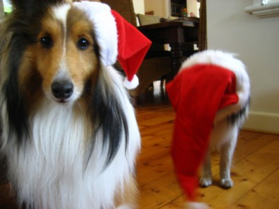 shelties-santa-hat