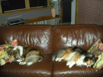 shelties-sleeping-couch