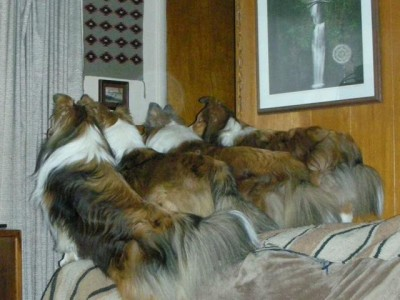 shelties-waiting-postman