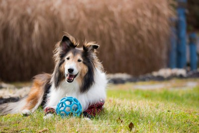 solo-sheltie-ball