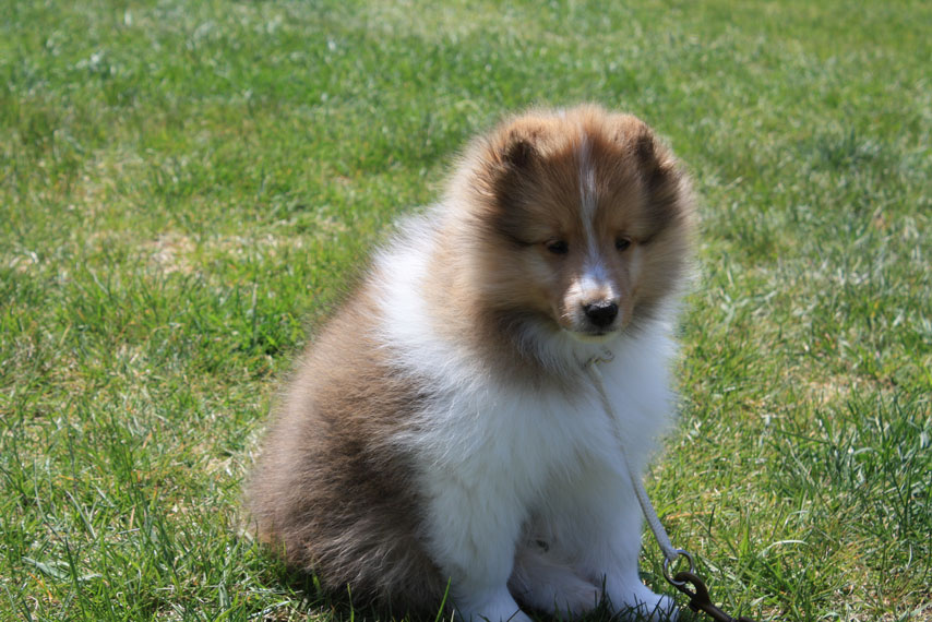 Sheltie Nation Getting A New Shetland Sheepdog Puppy