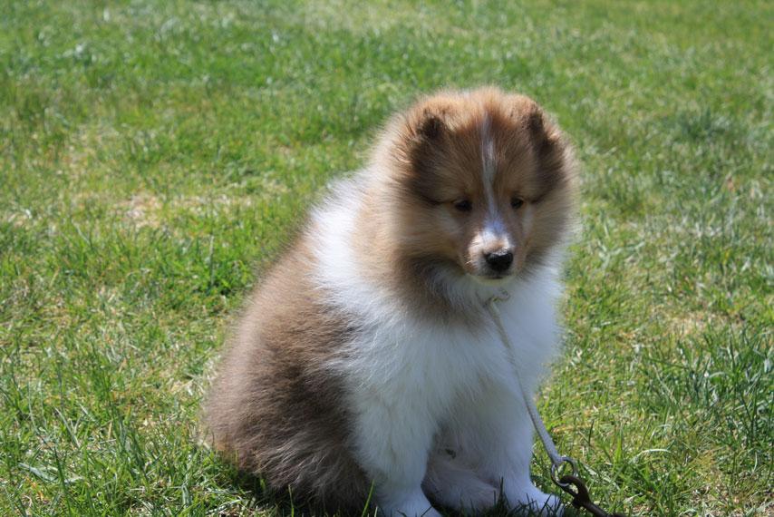 Sheltie Nation Getting A New Shetland Sheepdog Puppy