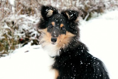 tuittu-sheltie-snow