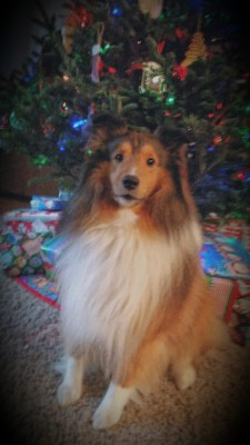 bentley-sheltie-xmas