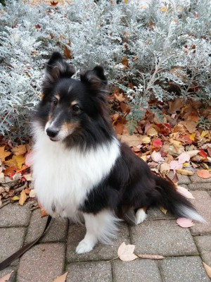 bonnie-sheltie-eyebrows
