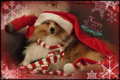 chip-santa-sheltie