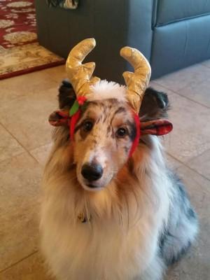 deacon-antlers-sheltie