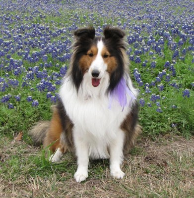 dora-therapy-sheltie