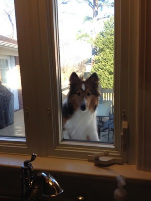 gracie-window-sheltie